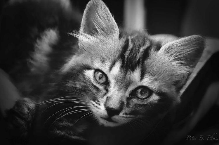 Cat Kitten B&w B&W Portit Pet