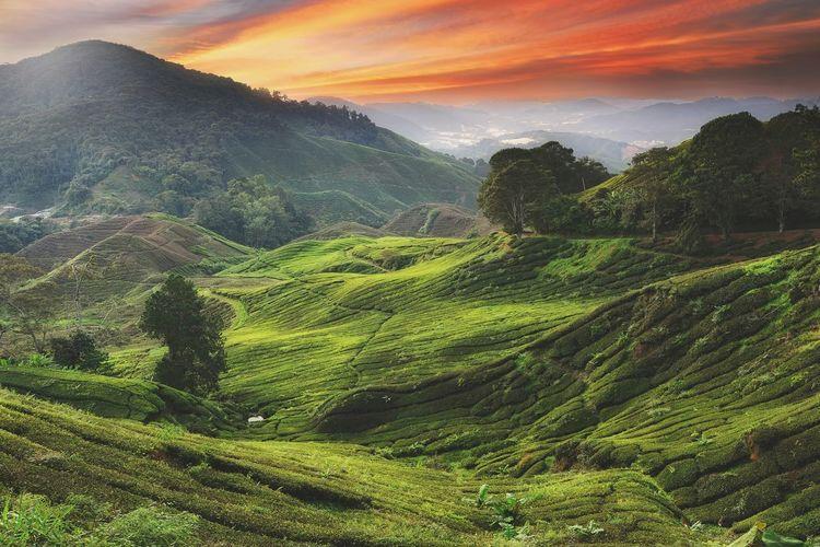 View of tea plantation at dawn