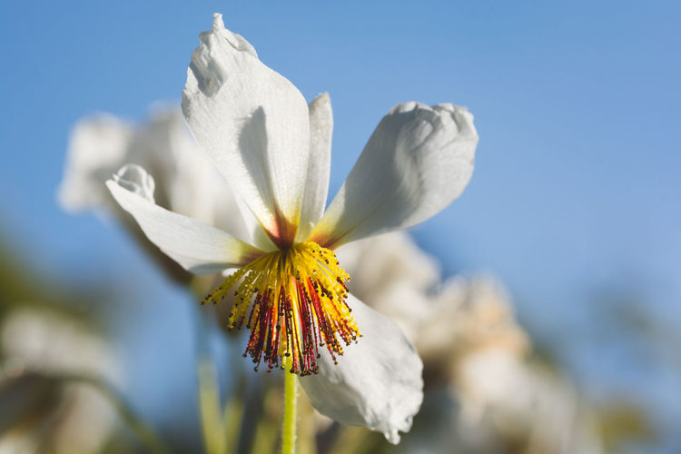 White flower head against blue sky. Beauty In Nature Clear Sky Close Up Of A White Flower Close-up Day Flower Flower Head Fragility Freshness From A Tourist Perspective Growth Nature Outdoors Petal Plant Sky Yellow Stamens Yellow Stamina