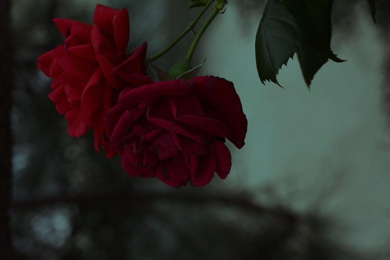 beauty in nature, flower, plant, flowering plant, red, close-up, freshness, petal, vulnerability, fragility, flower head, inflorescence, nature, focus on foreground, growth, no people, day, selective focus, rose, outdoors