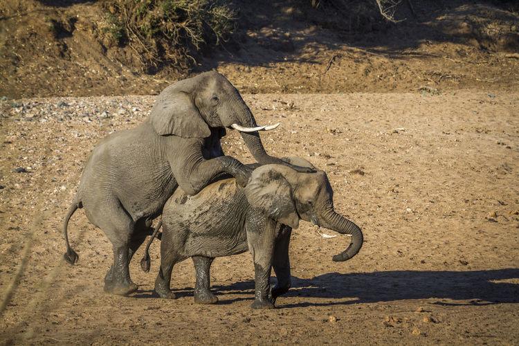 High angle view of elephants mating on land