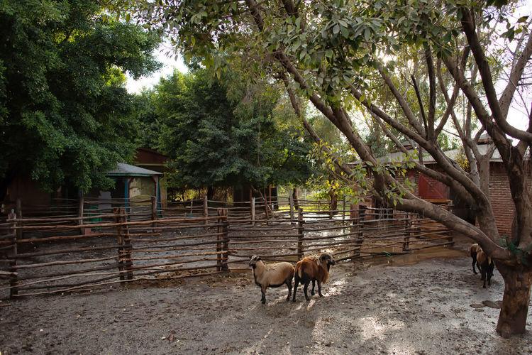 Horned Goats