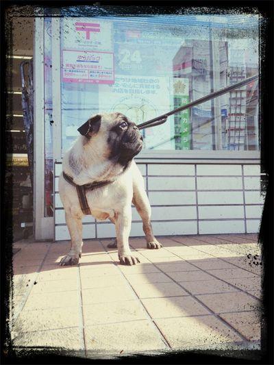 Pug Love Pug Time Pug Sitter Pug Life ❤