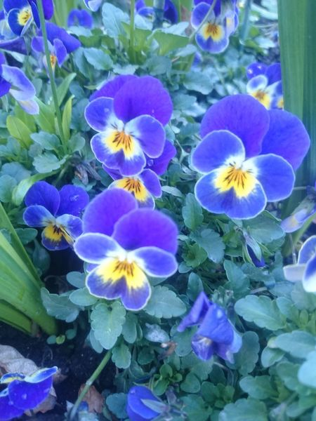 Beauty In Nature Blue Close-up Day Flower Flower Head Flowering Plant Fragility Freshness Growth High Angle View Inflorescence Leaf Nature No People Outdoors Petal Plant Plant Part Purple Vulnerability