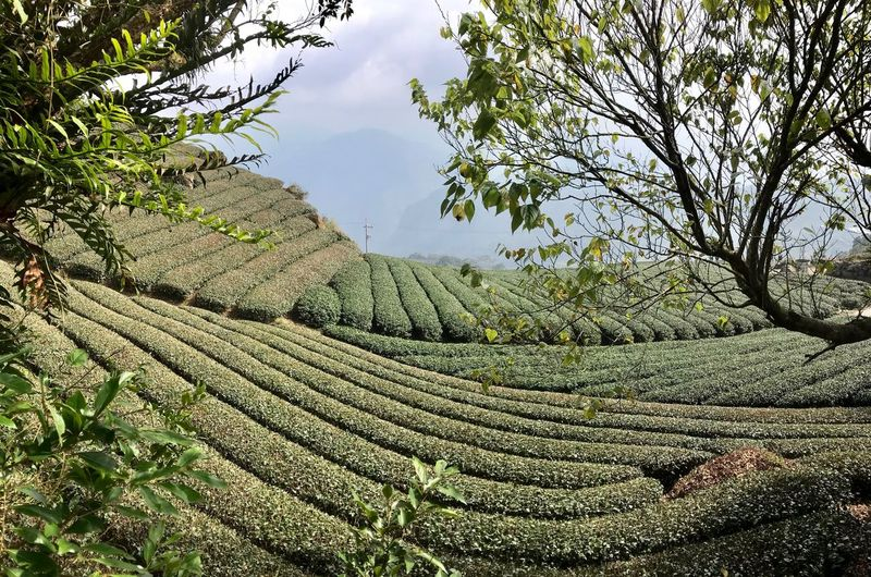ShotOnIphone Ali Mountain Green Scenery Landscape Tea Plantation  Taiwan Panoramic Tree Plant Growth Tranquility Nature Beauty In Nature Sky Green Color Low Angle View Tranquil Scene Water Day Land No People Environment Branch Outdoors Scenics - Nature Landscape