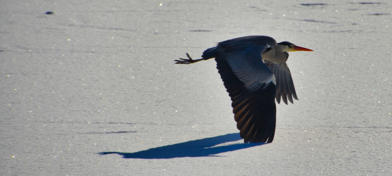 Animal Themes Animal Wildlife Animals In The Wild Beauty In Nature Bird Flying Gray Heron Nature One Animal Shadow Spread Wings Sunlight