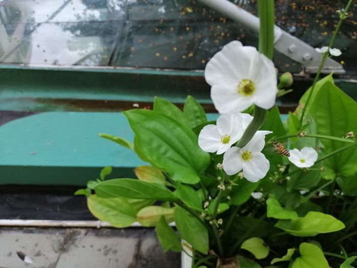 White flower and little bee Beauty In Nature Bee Close-up Day Flower Flower Head Flowering Plant Freshness Green Color Growth Inflorescence Leaf Little Bee Nature No People Outdoors Petal Plant Plant Part Purity White Color