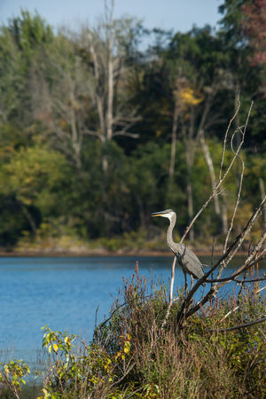 A heron surveys Westminister Pond in London, Ontario. Autumn Birds Of EyeEm  Animal Themes Animal Wildlife Animals In The Wild Beauty In Nature Bird Birds Canon Day Depth Of Field Fall Focus On Foreground Gray Heron Heron Lake Nature No People One Animal Outdoors Perching Tree Water
