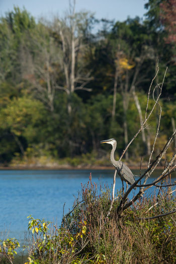 High angle view of gray heron perching on tree by lake against sky