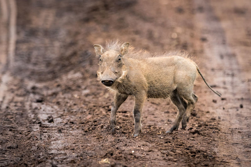 Animal Animal Themes Animal Wildlife Animals In The Wild Day Full Length Mammal Nature No People One Animal Outdoors Safari Animals Walking Warthog Wildlife
