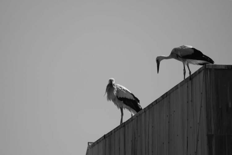 young storks Animal Themes Animal Wildlife Animals In The Wild Beauty In Nature Bird Black And White Blackandwhite Clear Sky Day EyeEm Animal Lover EyeEm Nature Lover Full Length Low Angle View Luisenpark Mannheim Nature No People Outdoors Perching Stork Two Animals White Stork Young Stork Black And White Friday