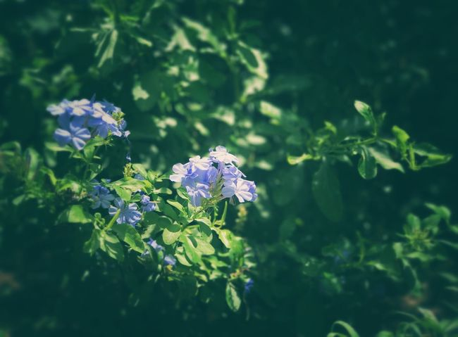 Greenery Garden Blue Flowers Plumbago Nature Leaf Plant Growth One Animal Green Color Flower No People Beauty In Nature Day Outdoors