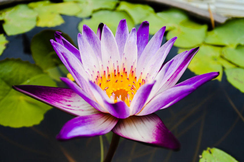 Blooming purple water lily with yellow pollen Flower Head Flower Lotus Water Lily Water Water Lily Petal Beauty Purple Close-up Plant Pollen In Bloom Lotus Botany Blossom Plant Life Blooming Single Flower Passion Flower