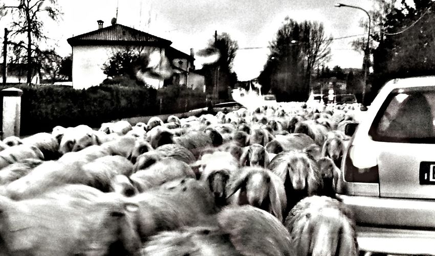 Transumanza Sheeps Streetphoto_bw Streetphotography Black And White