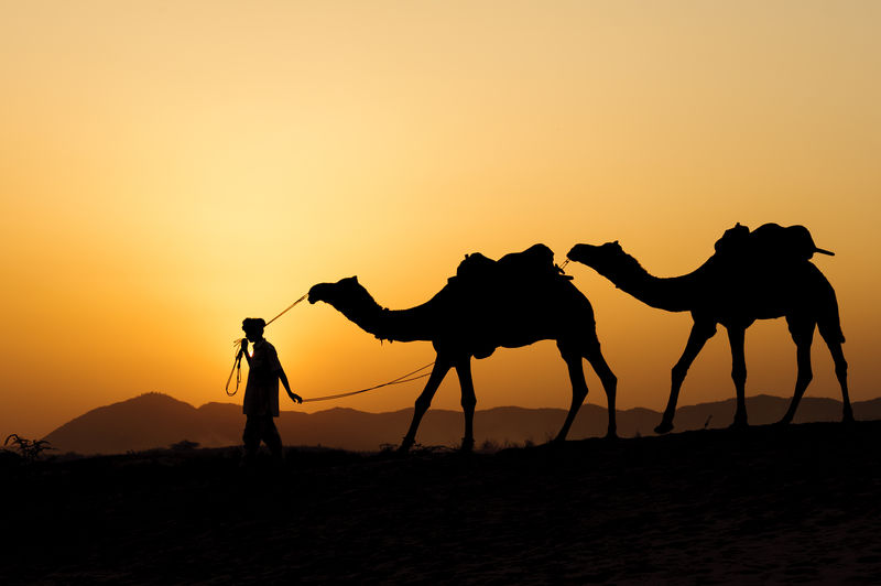 Silhouette Of Man Leading Two Camels In Desert