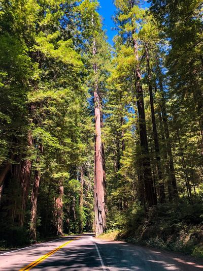 Driving through the Redwoods in Humboldt County, California Travel Destinations Explore Humboldt County Road Trip California Redwoods Redwood Tree Plant Transportation Sunlight Road Nature Growth No People Day Shadow The Way Forward Outdoors Green Color Beauty In Nature Direction Street Architecture Sunny Forest