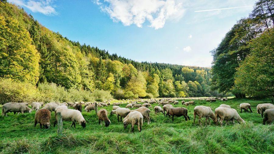 Sheep Life