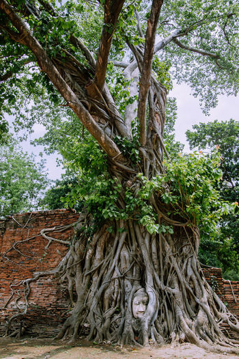 Decapitated Buddha head in the roots of a tree at Wat Mahathat in Ayutthaya, Thailand Temple Ancient Ayutthaya Buddha Buddhist Spirituality Thailand Architecture Beauty In Nature Forest Green Color Growth Land Low Angle View Nature No People Outdoors Plant Root Sky The Past Tranquility Travel Destinations Tree Tree Trunk
