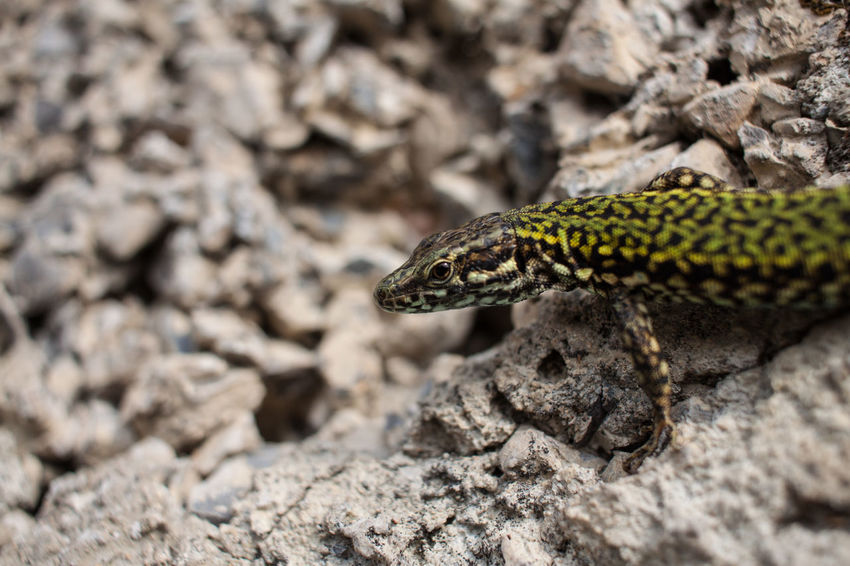 Lizard Animal Themes Animal Wildlife Animals In The Wild Close-up Day Nature No People One Animal Outdoors Reptile Rock - Object
