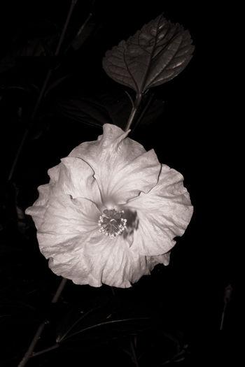 Hibiscus flower - Bali