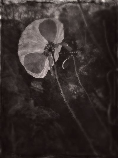 The Great Outdoors - 2017 EyeEm Awards Nature Plant Outdoors Fragility Close-up Beauty In Nature La Noguera Flower Head Poppy Flowers Poppy Lleida BYOPaper!