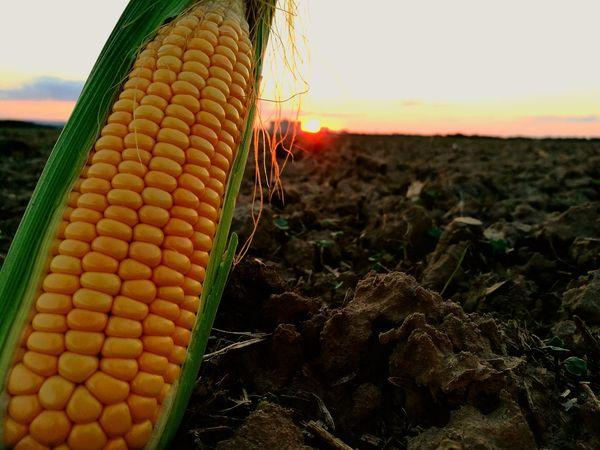 Corn West Field