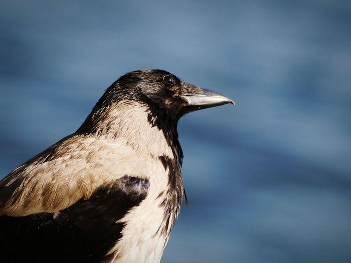 Close-Up Of Raven Bird