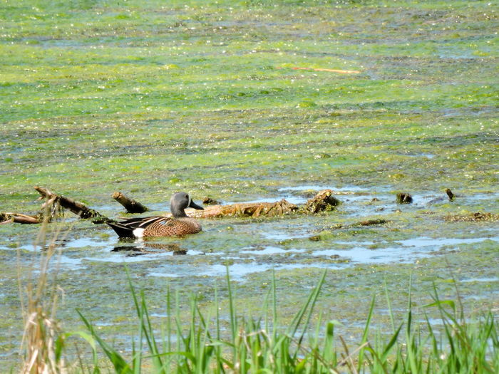 Blue Winged Teal Duck, Male Animal Themes Animals In The Wild Animal Wildlife Animal Water Group Of Animals Vertebrate Bird Lake Grass Nature No People Plant Day Swimming Medium Group Of Animals Beauty In Nature Outdoors Reflection Floating On Water Animal Family