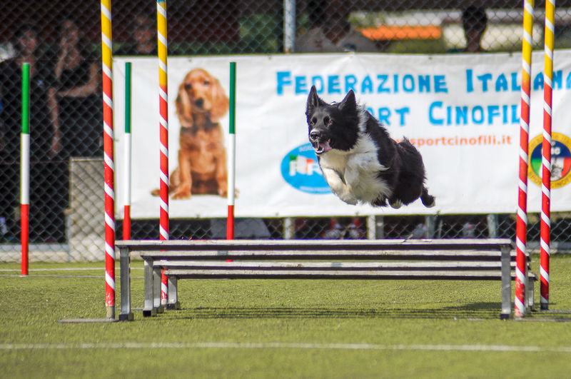 Border Collie CSEN FISC Action Agility Dog Animal Themes Cinofilia Competition Day Dog Dog Sport Domestic Animals Enci Feline Jumping No People Outdoors Pets Sport