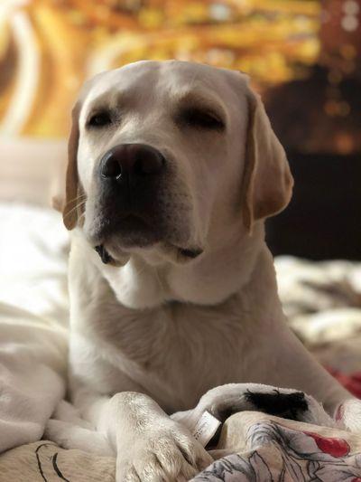 Canine Domestic