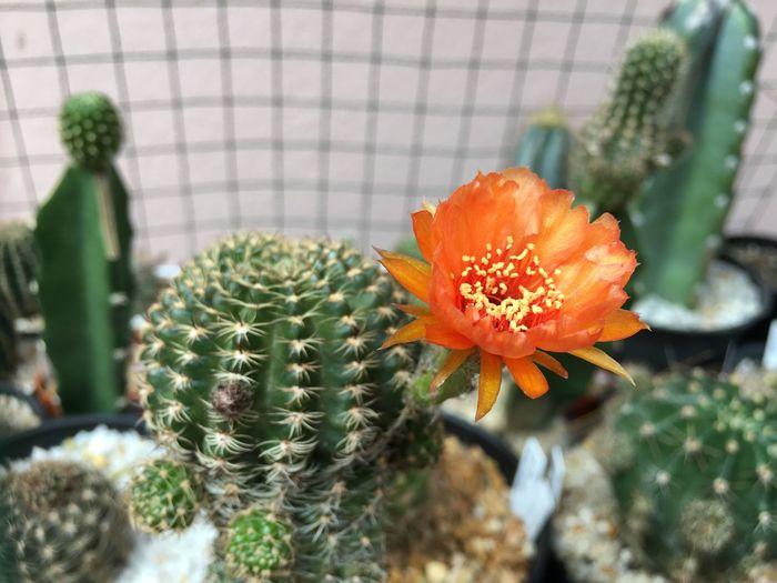 Close-up of orange cactus flower