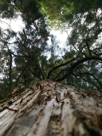 Low Angle View Tree Tree Trunk Tranquility Scenics Branch Growth Tranquil Scene Nature Sky Beauty In Nature Day Non-urban Scene Outdoors Tall Tall - High Green Color WoodLand Cloud - Sky Tree Canopy