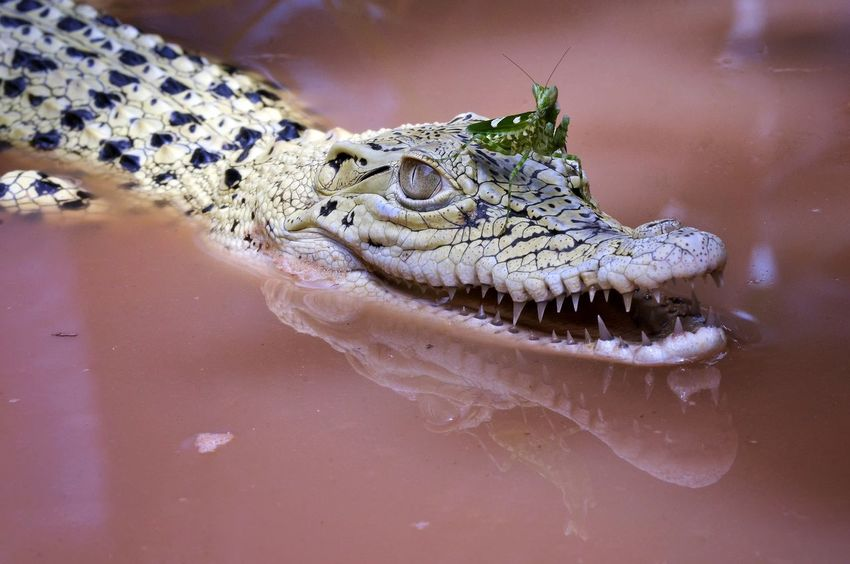 Reptile One Animal Animal Wildlife Animals In The Wild Animal Themes Alligator No People