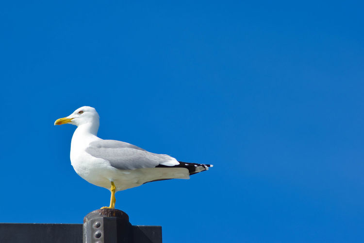 Low angle view of seagull perching on wood against clear blue sky