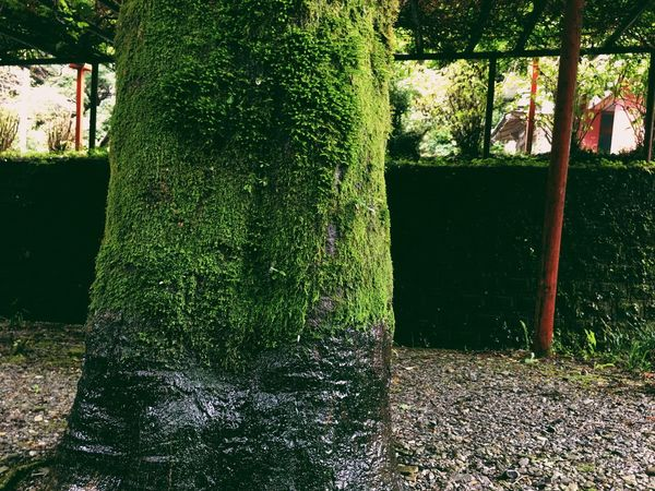 Calm Solitude Tranquil Scene Tree Trunk Tree Green Color Growth WoodLand Nature Overgrown Moss Japan Vscocam Japan Photography VSCO Freshness Botany Good Vibes Beauty In Nature Nature Tree Trunk Branch Growth Lush Foliage
