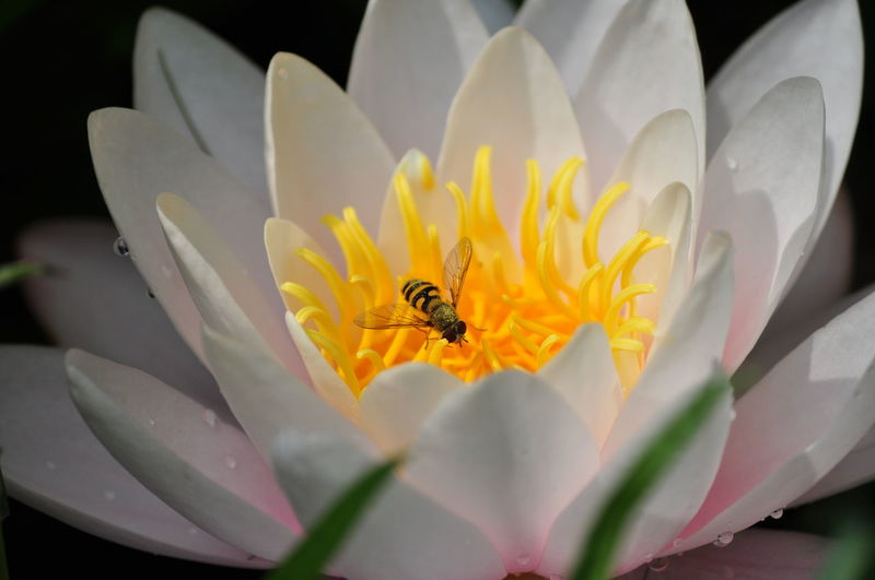 Beauty In Nature Bee Insect Insect Photography Lilly Lily Macro Yellow Yellow Color Smart Simplicity Spontaneous Moments Light And Shadow Summer Honey Fine Art Photography EyeEm Best Shots Waterdrops HoneyBee