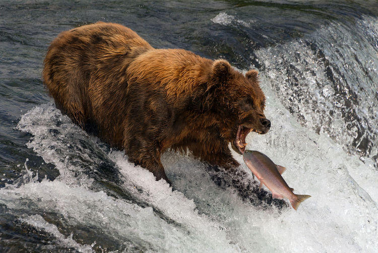 Bear Brooks Falls USA Alaska Animals Brown Bear Catching Fish Mammals River Salmon Ursus Arctos Water Waterfall Wildlife