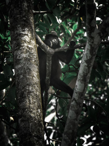 A howling monkey relaxing in the trees at the Carribean beach in Costa Rica. Animals In The Wild Monkeys Relaxing Animal Animal Themes Animal Wildlife Animals In The Wild Close-up Howling Monkey Low Angle View Mammal Monkey Monkey Forest Nature No People One Animal Relaxing Animals Tree Tree Trunk