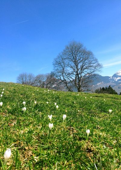 Switzerland Flower Nature Growth Field Beauty In Nature Blue Sky Tree Plant No People Blossom Outdoors Grass Freshness Tranquility Day Fragility Wildflower Landscape