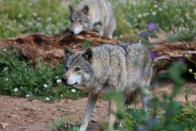 Wolf WOlves Andalucía Andalusia SPAIN Nature Nature_collection Nature Photography Naturelovers Beautiful The Essence Of Summer Beautiful Day Travel Travel Photography Showcase June Two Is Better Than One