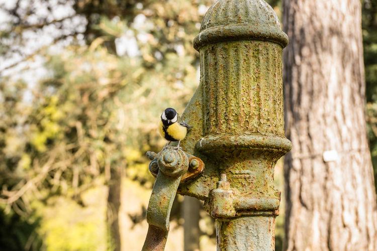 Great tit perching on old metallic water pump