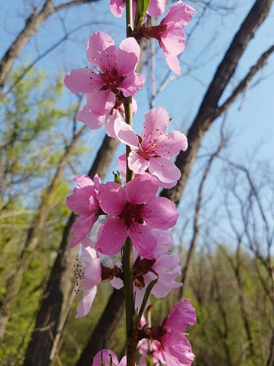 Flower Pink Color Nature Growth Flower Head Petal Beauty In Nature Freshness Springtime Branch Close-up Sky Fragility Day Outdoors No People Flowers_collection Flowers, Nature And Beauty Blossom Nature_perfection Nature_collection