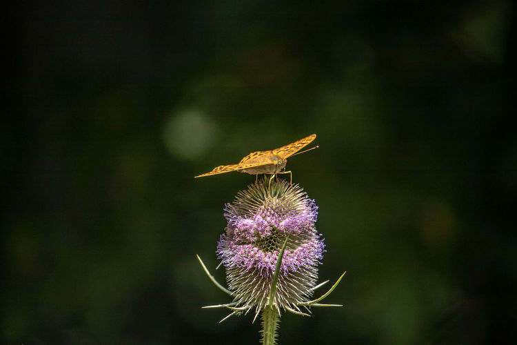 Animal Wildlife Beauty In Nature Butterfly - Insect Close-up Flower Flower Head Flowering Plant Focus On Foreground Fragility Freshness Growth Inflorescence Insect Invertebrate Nature No People One Animal Outdoors Petal Plant Pollination Purple Vulnerability