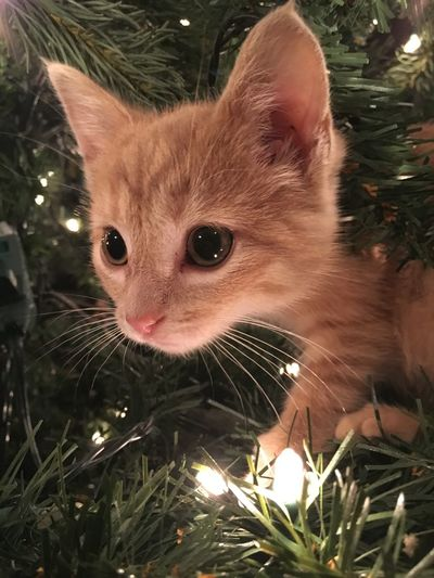 The Purist (no Edit, No Filter) No Filter, No Edit, Just Photography No Filter Cat Of The Day Christmas Kitten Catoftheday Christmas Lights Christmas Tree Orange Kitten Orange Green Lights Showcase: December Cellphone Photography