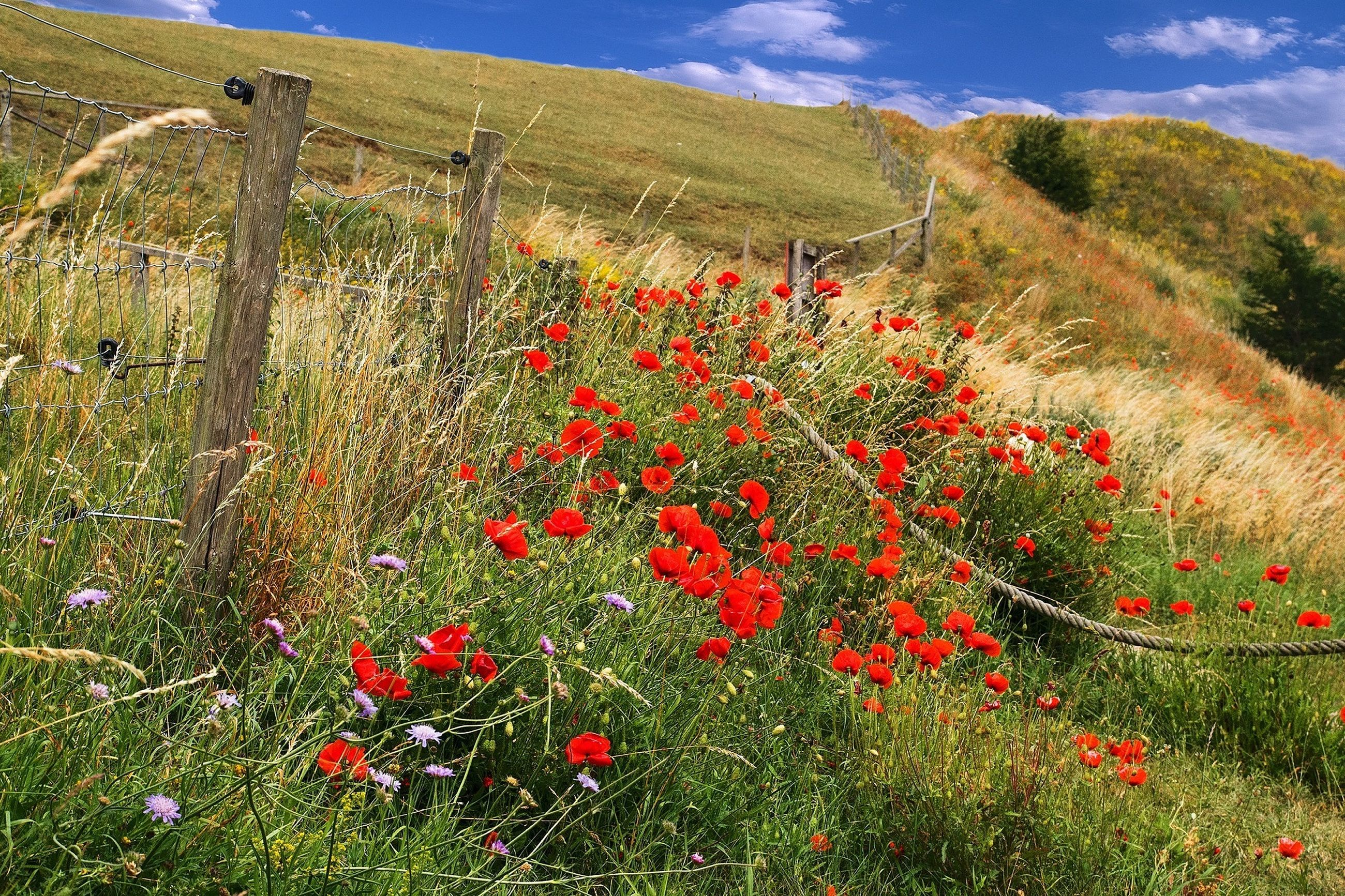 flower, growth, beauty in nature, plant, freshness, red, nature, landscape, field, mountain, tranquility, tranquil scene, grass, sky, scenics, fragility, blooming, poppy, green color, day