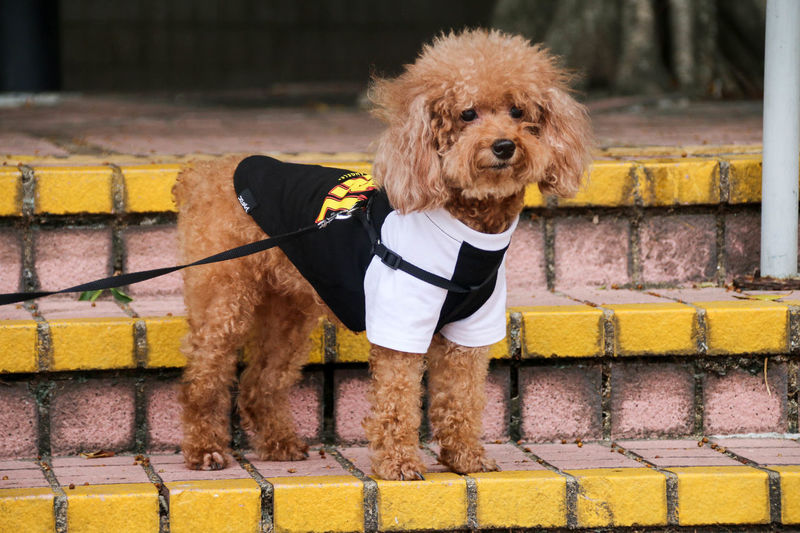 DogLove Dogs EyeEm Dog Lover Hundeliebe Animal Animal Hair Animal Themes Brick Wall Dog Dog Love Domestic Animals EyeEm Dogs Mammal No People One Animal Outdoors Pet Clothing Pet Leash Pets Poodle Portrait Pudel Puppy Standing Steps