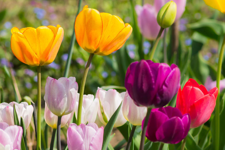Colorful Tulips Art Is Everywhere Beauty In Nature Blooming Close-up Colorful Crocus Field Flower Flower Head Focus On Foreground Fragility Freshness Growth Macro Beauty Nature No People Outdoors Petal Plant Spring Spring Flowers Tulip Tulips Tulips🌷