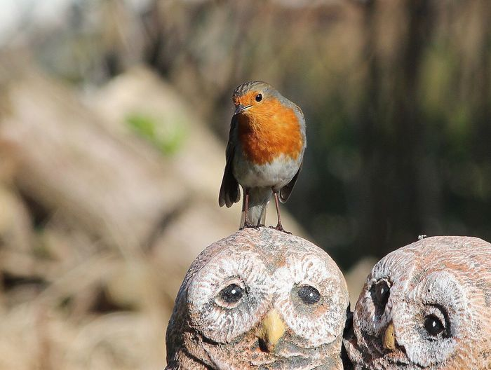 Close-Up Of Robin Perching On Owl Statue