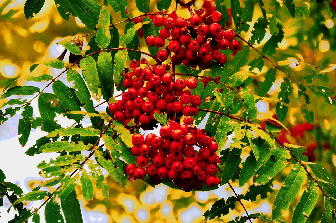 Low Angle View Of Red Berries Growing On Tree
