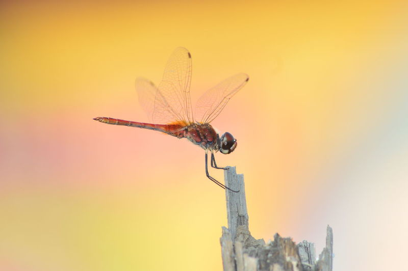 Dragonfly with beautiful background. EyeEm Best Shots EyeEmNewHere EyeEm Nature Lover EyeEm Gallery EyeEm Selects Bug Dragonfly Nature Pink Animal Animal Themes Animal Wildlife Animal Wing Animals In The Wild Backgrounds Beauty In Nature Building Exterior Close-up Flying Focus On Foreground Insect Invertebrate Nature No People One Animal Orange Color Outdoors Plant Sky Sunset